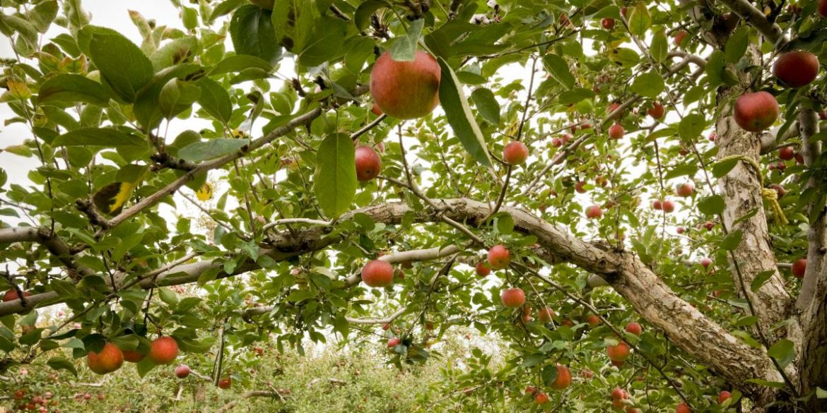 Mass. Farm Falsely Accused Black Family Of Stealing 6 Apples