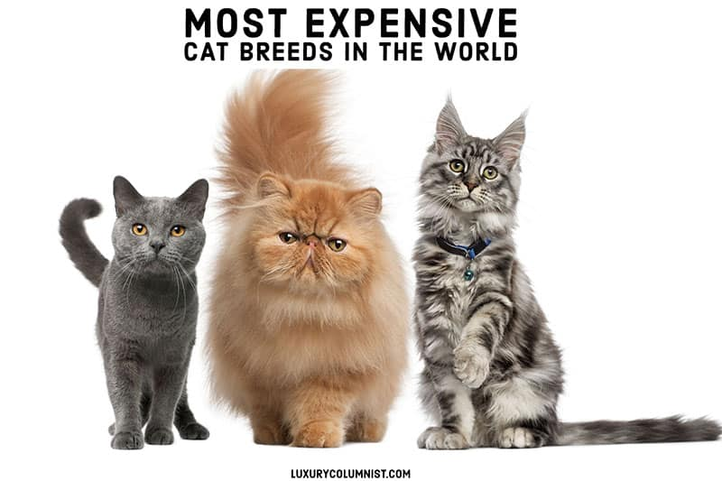 Most Expensive Cat Breeds in the World | 19 Pricey Felines